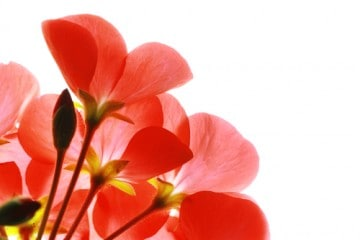 red flowers expressing gratitude via the healing testimonials